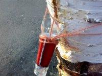Спосіб збору березового соку за допомогою гнота з товстої нитки з направляючою з горлечка скляної пляшки