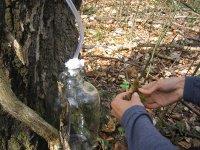 Маскування місця збору березового соку