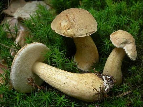 Жовчний гриб (Tylopilus felleus)