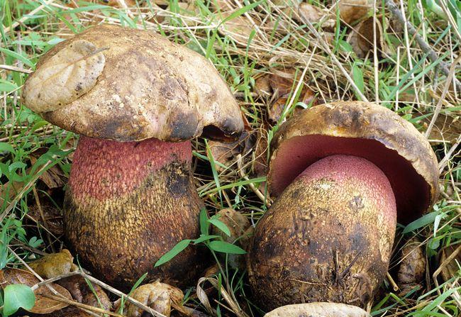 Боровик прекрасний (лат. Boletus pulcherrimus)
