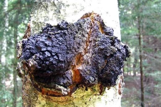 Чага. Інші назви - інонотус скошений, чорний березовий гриб, трутовик скошений, косотрубчатий, косою.