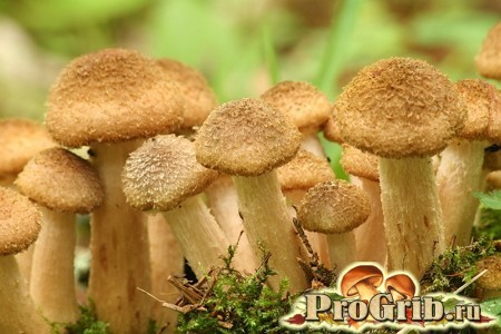 Чим корисні і шкідливі опеньки: склад і харчова цінність грибів