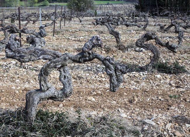 Ось такі старі виноградники в господарстві Grangeneuve, трохи від'їдеш від Ришранш