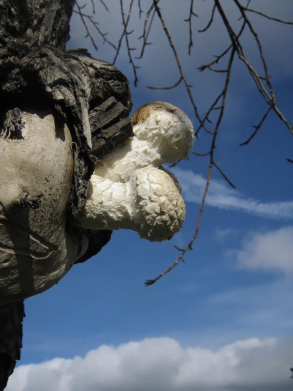 Чешуйчатка руйнівне (pholiota destruens)