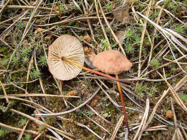 Чесночнік звичайний (marasmius scorodonius)
