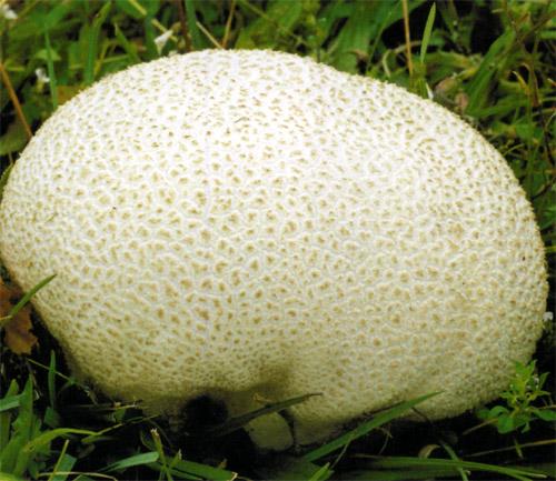 Головач круглий (Calvatia caelata Morg. (Syn. Lycoperdon caelatum auc.))