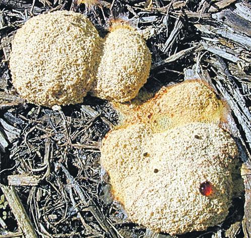 Плазмодій - самий рухливий гриб