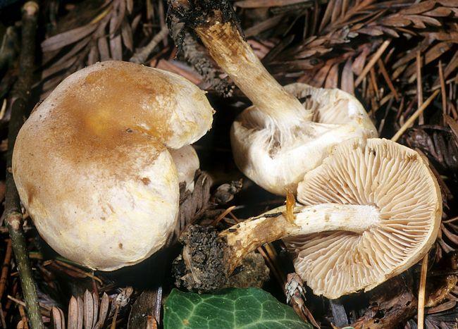 Гебелома оперезана (hebeloma mesophaeum)