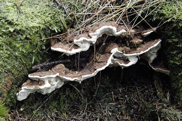 Гетеробазідіон багаторічний (heterobasidion annosum)