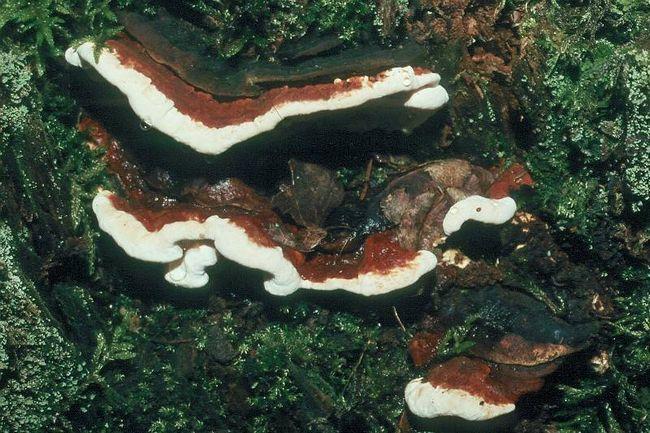 Heterobasidion annosum