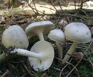 Гігрофор запашний (higrophorus agathosmus)