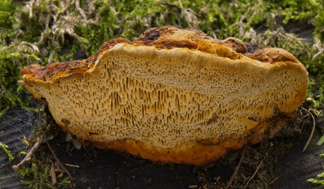 Глеофіллум пахучий (gloeophyllum odoratum)