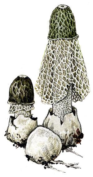 Сетконоска, або «дама з вуаллю»