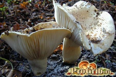 Гриб, який легко сплутати з грибом: опис білого подгруздкі