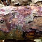 Трутовик ялиновий на що впав дереві