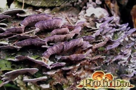 Гриб зростаючий виключно на хвойних деревах: опис трутовика ялинового