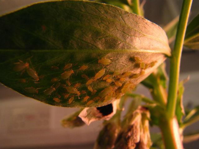 Гриби попереджають рослини про нашестя шкідників