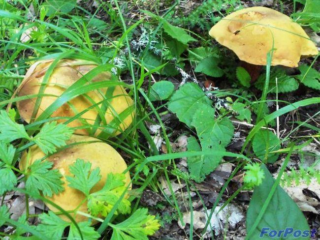 Гриби в севастопольських лісах є! тільки місця треба знати ...