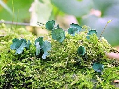 Хлороціборія синьо-зелена Chlorociboria aeruginosa