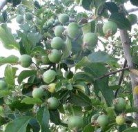 Яблуня східна