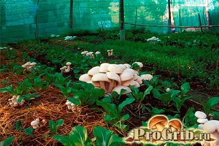 Екстенсивні та інтенсивні методи вирощування глив