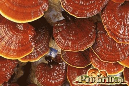 Екзотичне хобі: культивування деревного гриба рейши