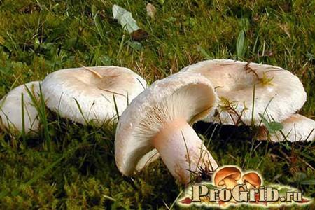 Фото грибів вовнянки