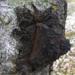 Inonotus obliquus на дереві