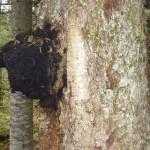 Чага на великому дереві