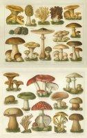 Класифікація їстівних грибів