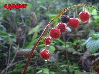 Дозрілі ягоди конвалії. фото Катерини Янушкевич
