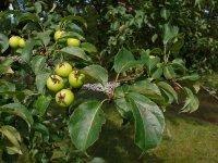 Лісова (дика) яблуня