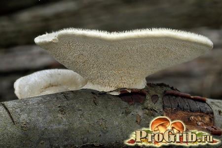 Любитель відмерлих дерев: характеристики жестковолосістие трутовика