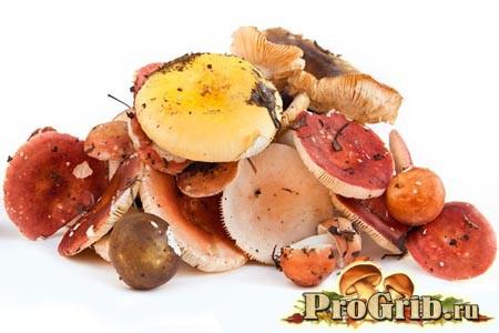 Левова частка серед грибів: багата різноманітність видів сироїжок