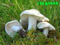 Травневий гриб
