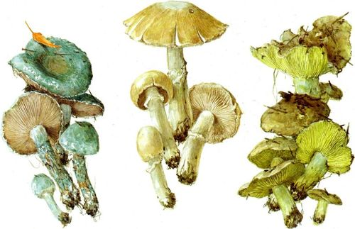 МАЛОВІДОМІ пластинчасті гриби