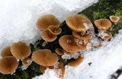 Меланотус Філліпс (melanotus phillipsii)