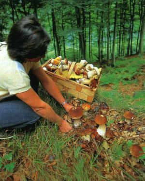 Зрізання білого гриба