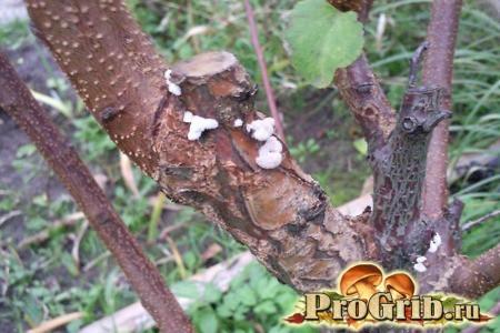Трутовик на плодовому дереві