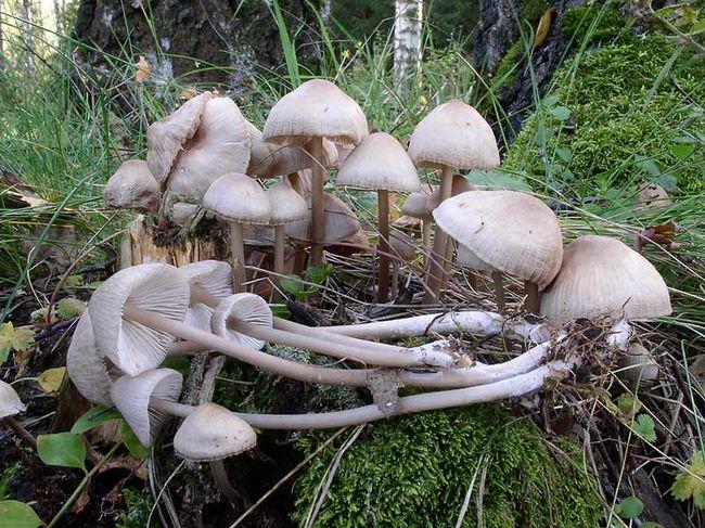 Міцена колпаковідная (mycena galericulata)