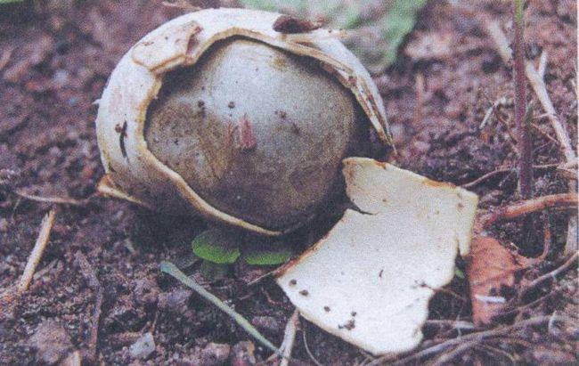 Міценаструм шкірястий (mycenastrum corium)