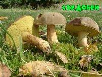 Моховик зелений