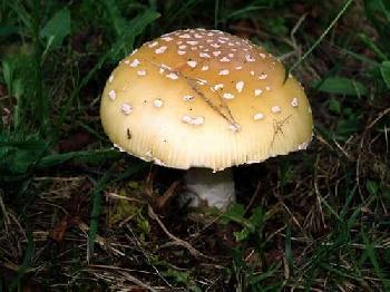 Мухомор перловий (amanita junquillea)