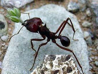 Предки сучасних мурах вирощували гриби