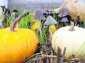 На гарбузі виростає три кілограми грибів