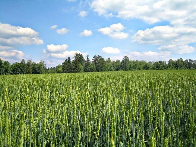 Колоситься жито
