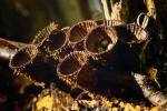 Гнездовікі (Cyathus striatus)