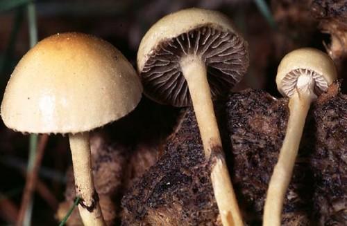 Гнойова лисина (psilocybe merdaria)