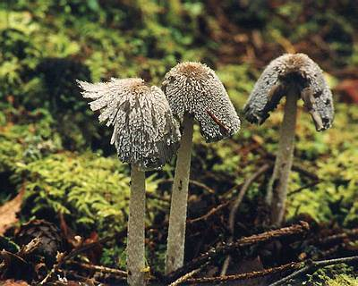 Гнойовик звичайний (coprinus cinereus)