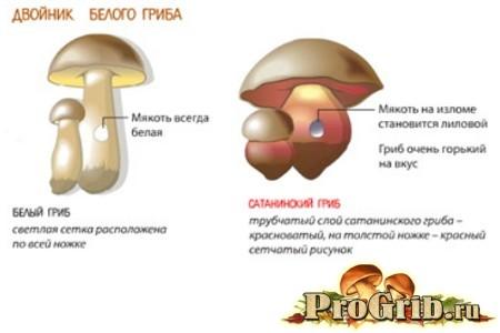 Двійник білого гриба (відмітна картинка)